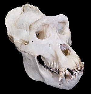 Gorilla - Male gorilla skull