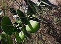 Gråbladig kronbuske-2.jpg
