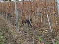 Grape clusters still on the vine after leaf fall in Austria.jpg