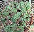 Graptopetalum macdougallii 1.jpg