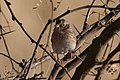 Grasshopper Sparrow Curly Horse Ranch Rd Sonoita AZ 2018-01-26 09-21-52 (25065137967).jpg