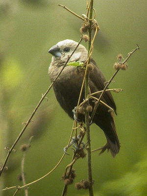Gray-headed Munia - Papua NG H3 (22568855948).jpg
