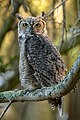 Great Horned Owl (42907326400).jpg