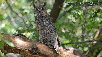 Great horned owl - Owl showing much of its camouflage pattern/color