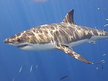 Great White Shark (14730744390).jpg