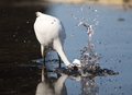 Great egret spearing fish.png