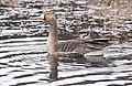 Greater White Fronted Goose (3b06dd67-0150-43b6-b740-0a0b9a6fa33c).jpg