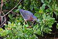 Green Heron (6842669730).jpg