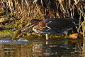 Green Heron with catch (7861138526).jpg