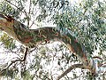 Green branch of Eucalyptus.jpg