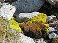 Green moss or plants in river Lille Malene hike near Nuuk Greenland.jpg
