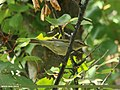 Greenish Warbler (Phylloscopus trochiloides) (25812078026).jpg
