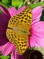 Grenchen - Argynnis paphia on Asterales flowers.jpg