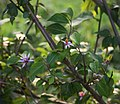 Grewia occidentalis 5.jpg