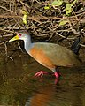 Grey-necked Wood Rail (Aramides cajanea) (30934919933).jpg