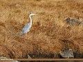 Grey Heron (Ardea cinerea) (23693171768).jpg