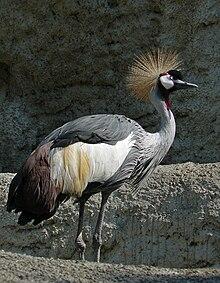 Grey crowned crane, Balearica regulorum.jpg