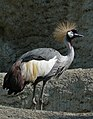 Grey crowned crane, Balearica regulorum.jpg