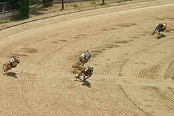 Greyhounds rounding a turn
