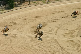 Greyhound racing - Greyhounds rounding a turn on a track.
