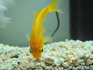 Common goldfish - Credit: Benoît Prieur (Agamitsudo) - CC-BY-SA