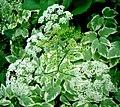 Ground-elder bloom.jpg