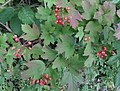 Guelder Rose (Viburnum opulus) fruits, Sourlie Nature Reserve, Irvine, North Ayrshire.jpg