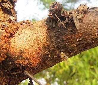 Gum arabic - Gum arabic exuding from Acacia nilotica