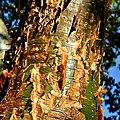 Gumbo-limbo (Bursera simaruba) (8335556200).jpg