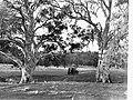Gums at Wilpena Pound Station Flinders Ranges(GN08497).jpg