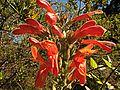 H20120711-5239--Keckiella cordifolia--RPBG (17458707961).jpg