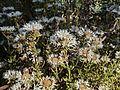 H20140801-3199—Monardella hypoleuca ssp lanata—RPBG (14808837816).jpg