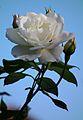 HD Juli 2012 weiße Rose mit Knospen.JPG