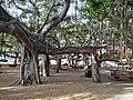 HI Maui Lahaina Banyan Tree Park2.jpg