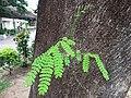 HK CWB 銅鑼灣 Causeway Bay 摩頓台 Moreton Terrace tree green leaves June 2019 SSG 03.jpg