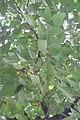 HK CWB 高士威道 Causeway Bay Road 維多利亞公園 Victoria Park tree Sept 2017 IX1 Candlenut 石栗 Aleurites moluccanus 01.jpg