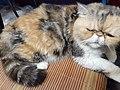 HK HH 紅磡 Hung Hom 異國長短毛貓 Exotic Shorthair bleed cat November 2020 SS2 08.jpg