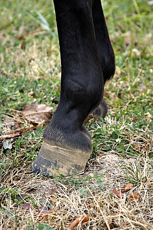 Lameness (equine) - Chronic lameness often causes an upright hoof capsule.