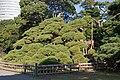 Hama-Rikyu 300-year-old pine.jpg