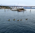 Harbor Geese-Tarrytown NY.tif