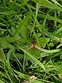 Harderbos - Gewone pendelvlieg (Helophilus pendulus).jpg