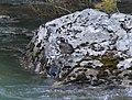 Harlequin Duck, Glacier NP, July 5, 2012 (7515257998).jpg