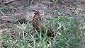 Harlequin Quail (Coturnix delegorguei) 1 (31605900087).jpg
