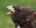 Harris Hawk 6d (6937444070).jpg