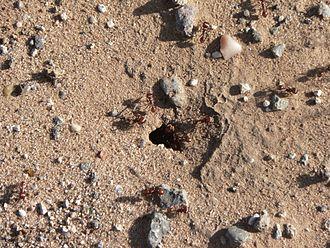 Red harvester ant - Red harvester ant nest entry