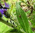 Harvestman, aphids, cornflower (20357954644).jpg