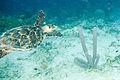 Hawksbill turtle Eretmochelys imbriocota (2408522212).jpg