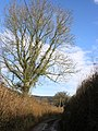 Hedgerow tree, on the lane near Singleton Park - geograph.org.uk - 1719285.jpg