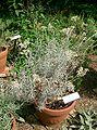 Helichrysum italicum2.jpg