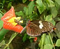 Heliconius doris (Doris longwing) - Flickr - S. Rae.jpg
